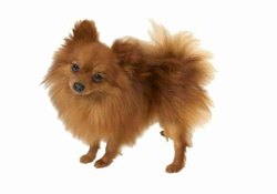 Pomeranian Coat Grooming Tips