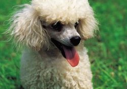Tips on Hair Care for Poodles