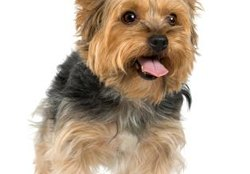 Health Issues in a Silky Terrier