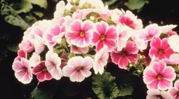 How to Care for a Potted Primrose