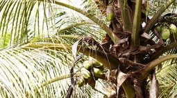 What Is the Fruit of a Palm Tree?