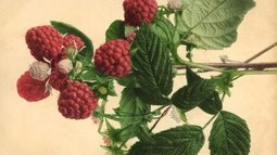 What to Use for Fertilizer on Raspberry Plants