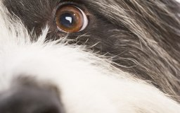 Canine Corneal Abrasions | Dog Care - The Daily Puppy