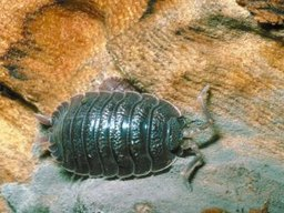 Do Pill Bugs Prefer Colder Weather?