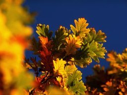 What Leaf Colors Do Oak Trees Have in Autumn?