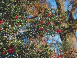 Types of Red Berry Trees
