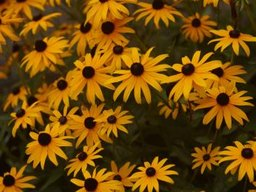 What to Do with Black-Eyed Susan Plants in Fall & Winter