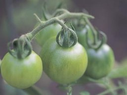 Can You Harvest Tomatoes After a Frost?
