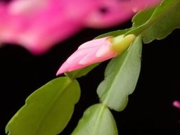 How Often Should I Water My Christmas Cactus?