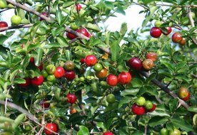 What Are the Benefits of Acerola Cherry?