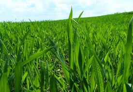 Can You Have Wheat Grass if You Are Gluten Sensitive?