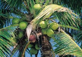 Nutritional Value of Young Coconut Meat