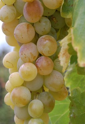Grapeseed Oil Extract: Information & Benefits