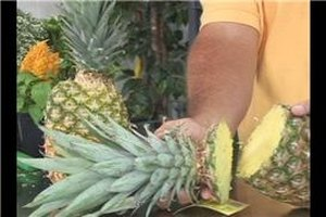 Pineapple Plant Care