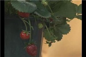 Strawberry Plant Care