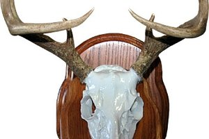 A European mount is the white skull of the animal mounted on a plaque.