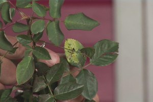 How to Control Black Spot on Roses