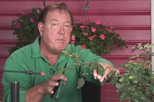 How to Prune Double Knockout Roses