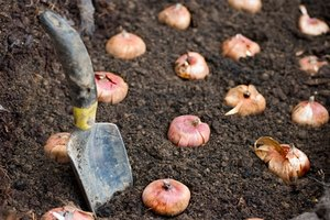 How to Plant Bulbs in Fall