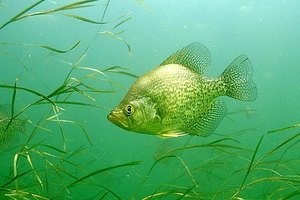 Crappie like underwater cover
