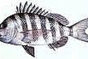 Catch Sheepshead