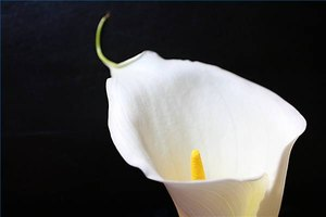 Lilies are a popular funeral flower