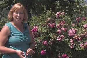 How to Prune a Knock Out Rose Bush