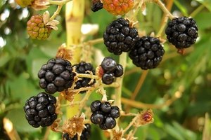 The dark berries of the mulberry tree are said to be stained from the blood of Pyramus and Thisbe.