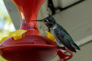 Why Does Sugar Water Made for Hummingbirds Turn Cloudy?