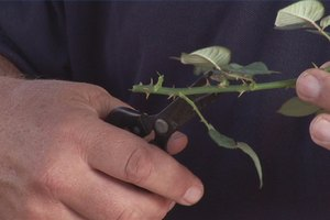 How to Make a New Cutting From a Rose Bush