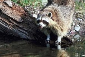 Raccoons can sometimes carry disease.