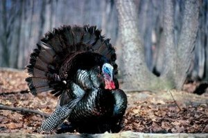 Hunters listen for gobbles to locate male turkeys.