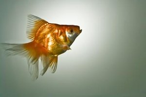 When a pet fish dies, it may help children in the home to have a fish funeral.