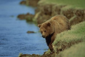 Bear walking alongside the shoreline.