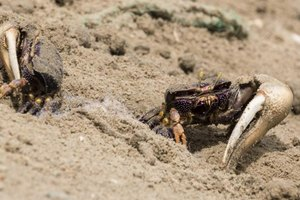 Male fiddler crabs use their enlarged claws to court females and battle other males.