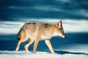 Properly made boards will ensure that coyote pelts meet fur market standards