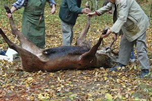 A gut hook helps dress a deer without damaging it.