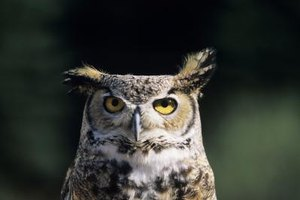 What Kind of Sound Does an Owl Make at Night?