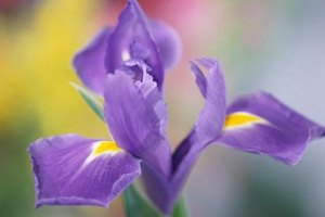 The iris, or fleur-de-lis, is the national flower of France.