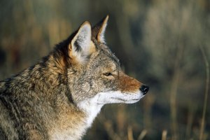Profile of coyote in the wild.