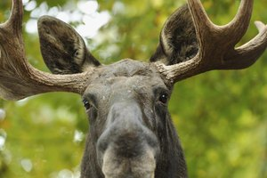 Moose are large animals that weigh up to 1,500 pounds.