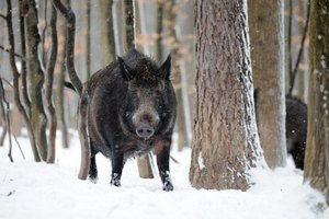 Wild hogs can be hunted in Pennsylvania without restriction.