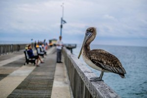 A pelican waiting on a pier near a fisherman and his net.