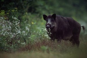 Feral swine are a nuisance in Pennsylvania.