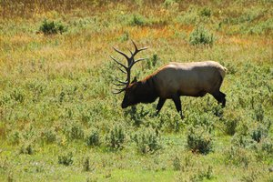 Elk are abundant in the Colorado Springs area.