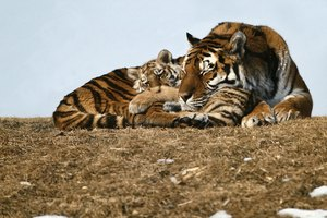 Parenting Techniques of a Tiger Mom