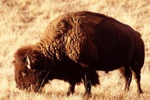 Buffalo meat is redder than other meat because it doesn't marble.