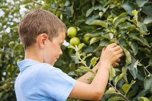 Low-hanging branches make it easy for kids to pick apples.
