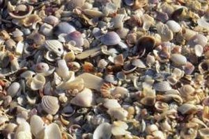 Shelling is a popular activity on Sanibel Island in southwest Florida.