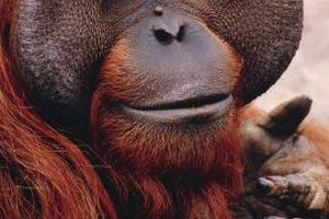 Orangutans, members of the great ape family, are similar to humans in surprising ways.